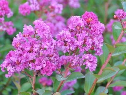 Lagerstroemia VIOLET D'ETE® 'Indyvio'