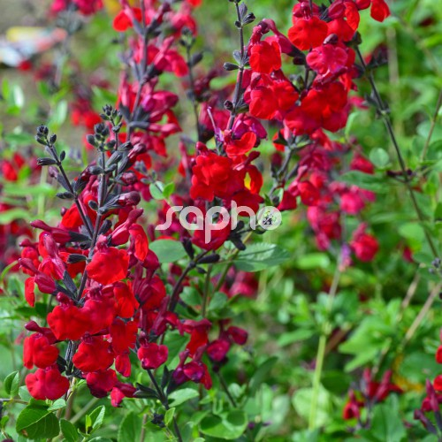 salvia microphylla reve rouge faursal01